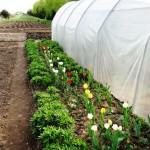 agroturystyka-warzywniak