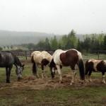 konie (16)